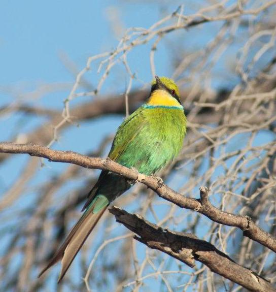 Beautiful Swallow Tailed Bee Eater for Mr Birder