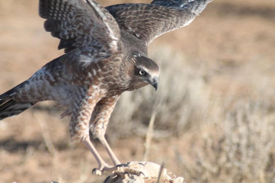 Possible Dark Chanting Goshawk, juvenile... this is up for discussion