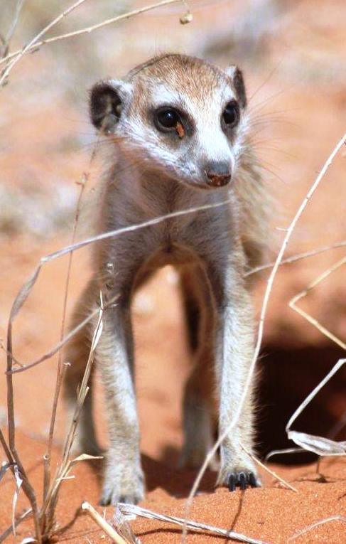 Brave little Suricate eyes me out as I crash backwards through the bushes in the Bullet