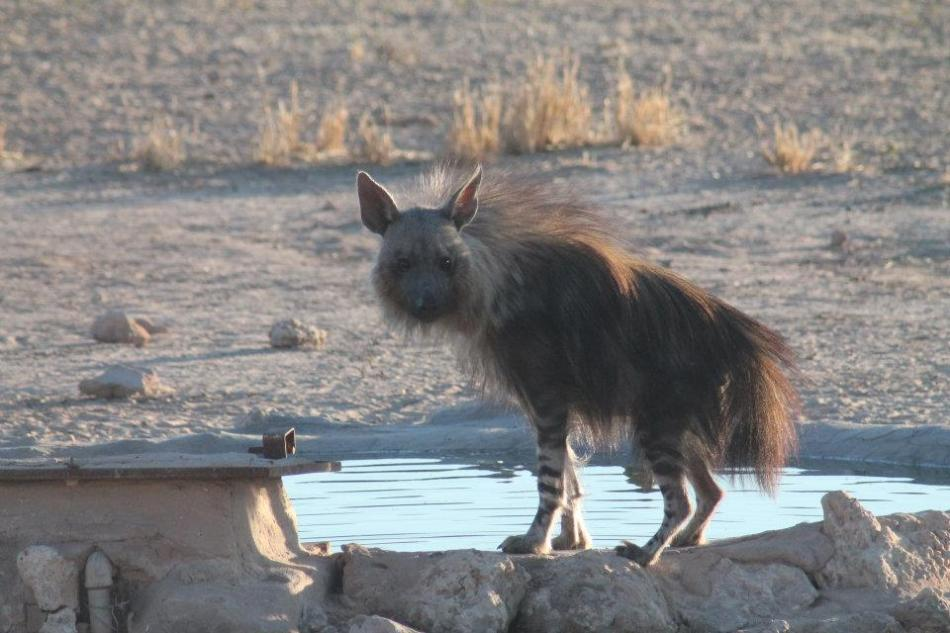 Brown Hyena, what a beautifully ugly shy kind of guy