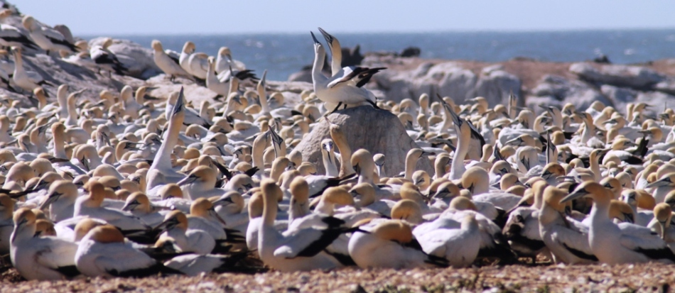Chaotic Cape Gannets on Bird Island, Lamberts