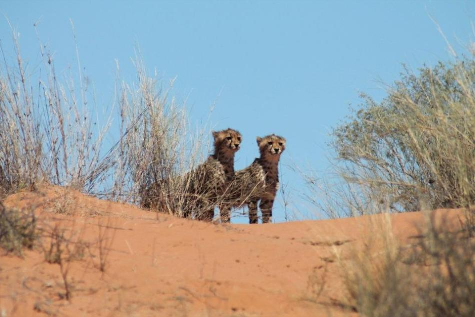 Well Done Mum!  These are some beautiful babies!  Cheetah Cubs getting in on the action!