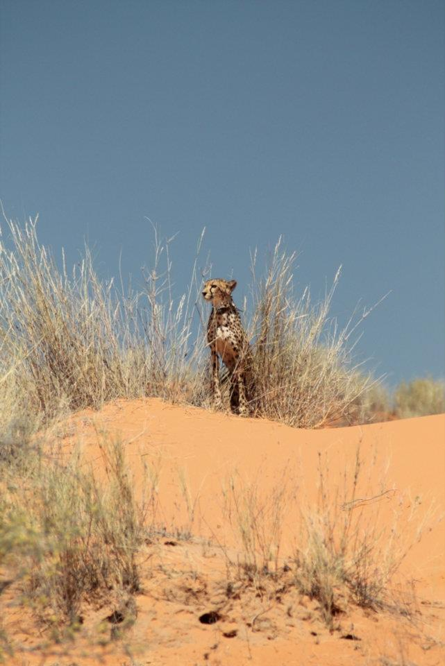 A spot in the wild!  Waiting for cheetahs to move can become a little Mad Max..ish