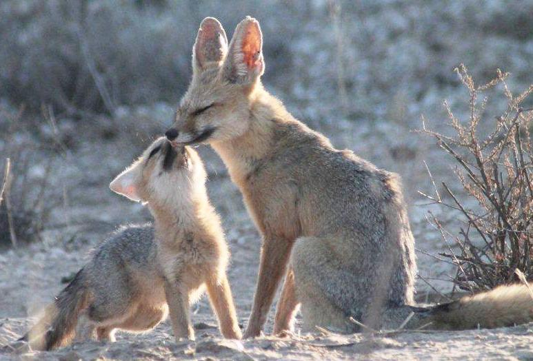 Kit Cape Fox and it's Mum having a little play time together in the Kalahari sunshine