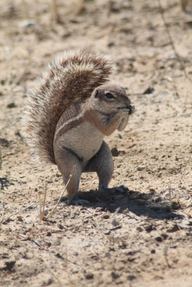 Ground Squirrel in the Kgalagadi, it's the little things that count
