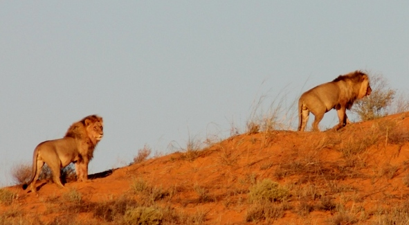 "Two Kgalagadi male lions, bored of being stared at, ""leeu loop"""