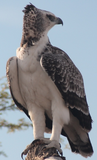 Marshall Eagle, the biggest of the African Eagles, spotted in the Kgalagadi Transfrontier Park