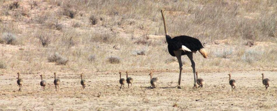 Ostrich with chicks making their way across the Kalahari
