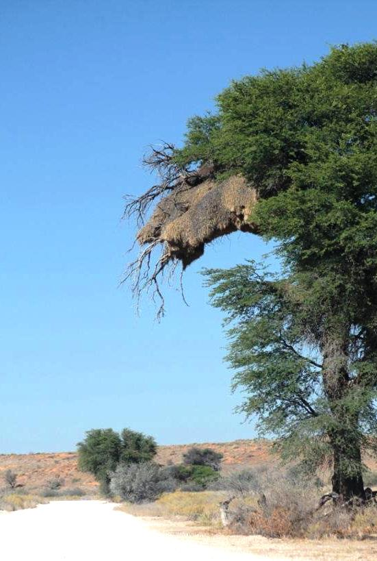 Social Weaver Nest, the battle place where the Pigmy Falcon took on the Tawny Eagle!