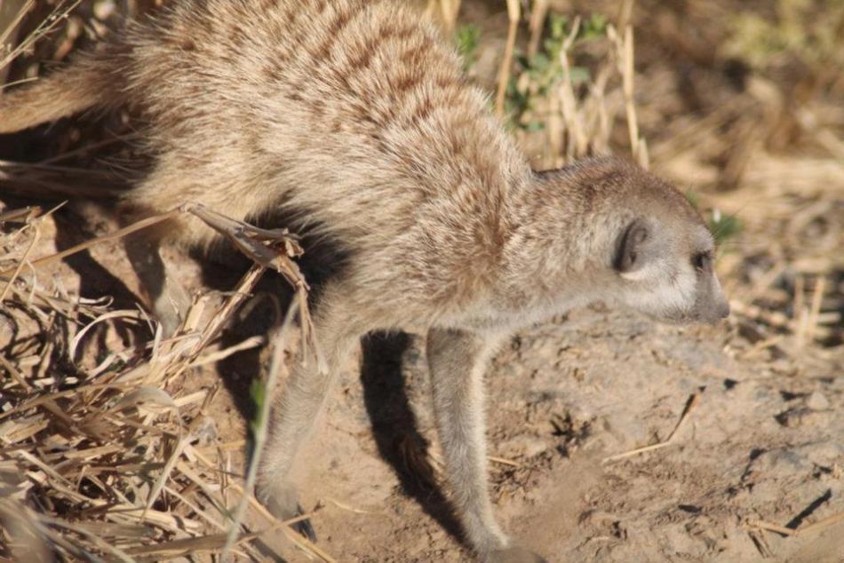 Suricat tentatively stalking a Rock Agama