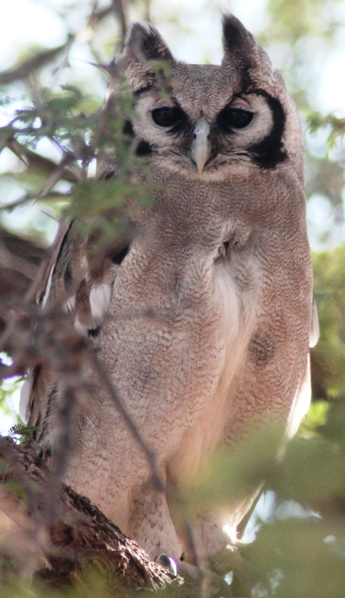 Giant Eagle Owl, the wisest bird in the world says you should go and visit him on the Karoo, Kalahari and West Coast Tour.