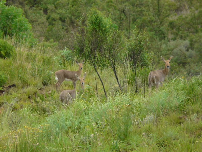 Grey Rhebuck love the grassy slopes of the Drakensberg