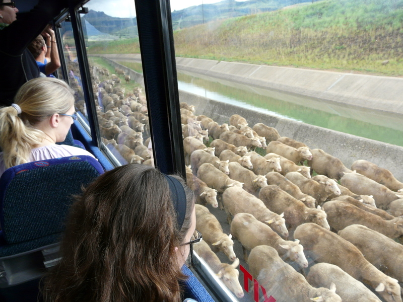 Sheep getting herded around our truck Ella