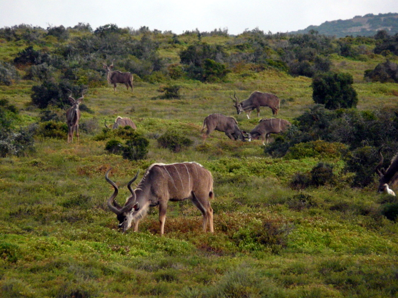 Kudu browsing in the veld in Addo National Park