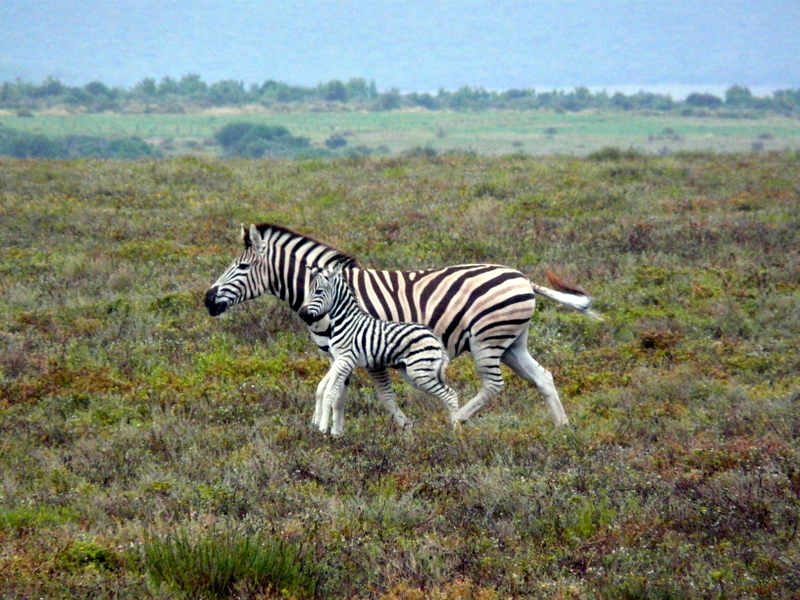 A zebra and her foal run alongside the truck in Addo