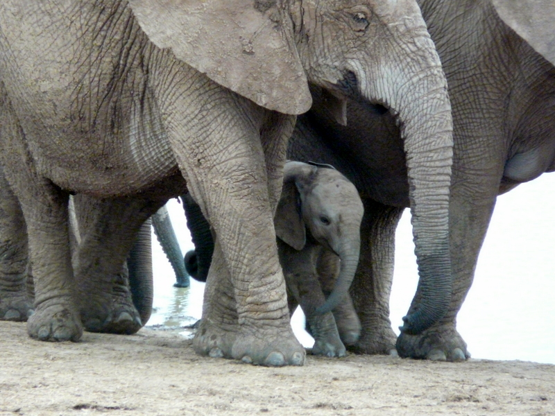 A happy little Addo elephant family!