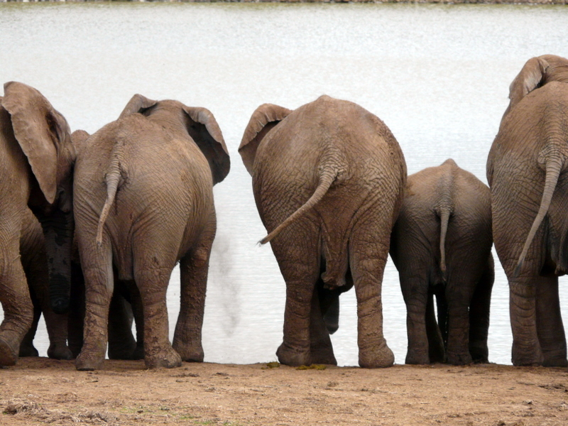 The other end of the elephants